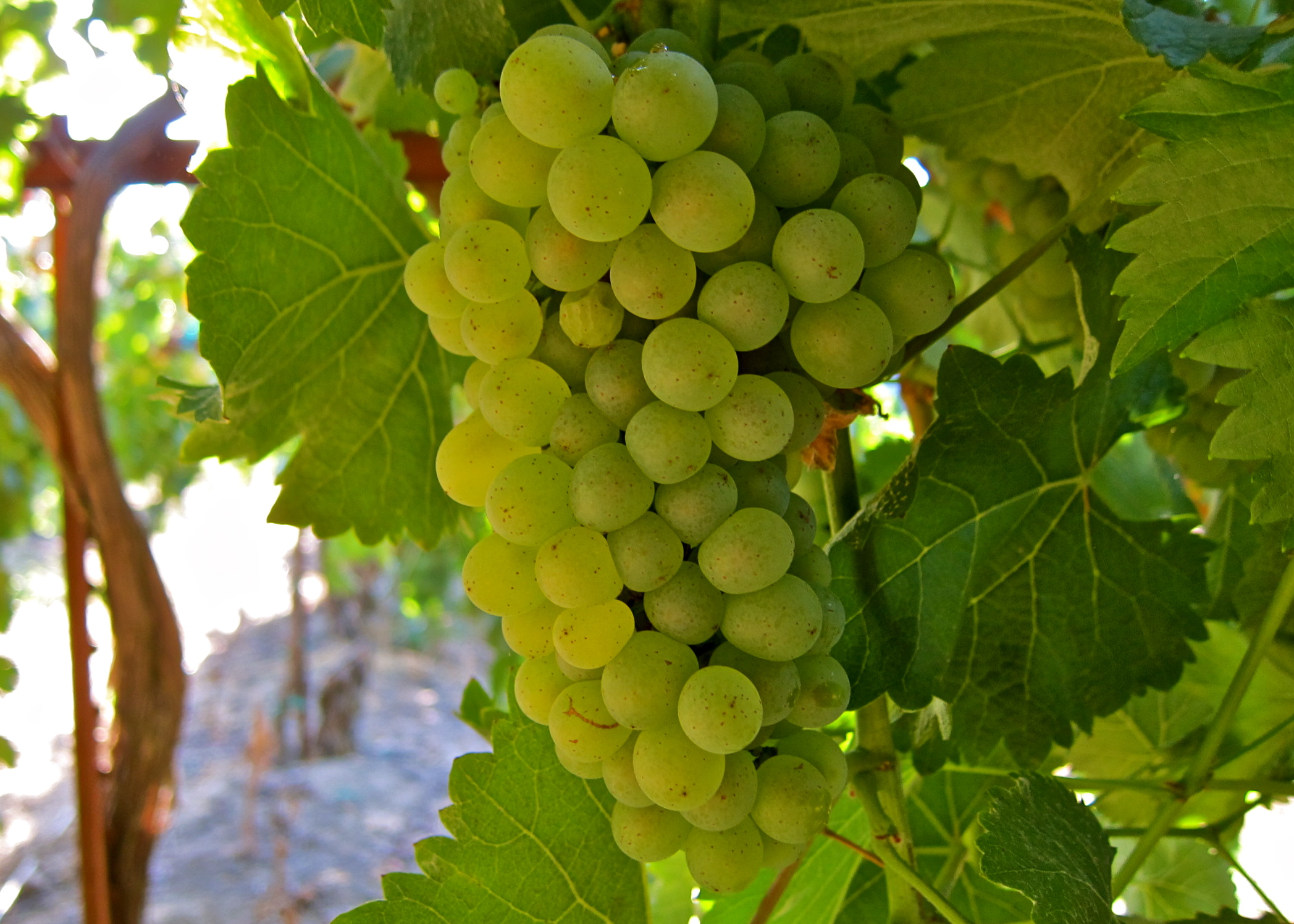 Best Sheets In The World Cheat Sheets For White Wine Grapes The Bubbly Professor