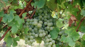 35-Semillon-grapes