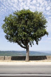 Tree Use for Chianti