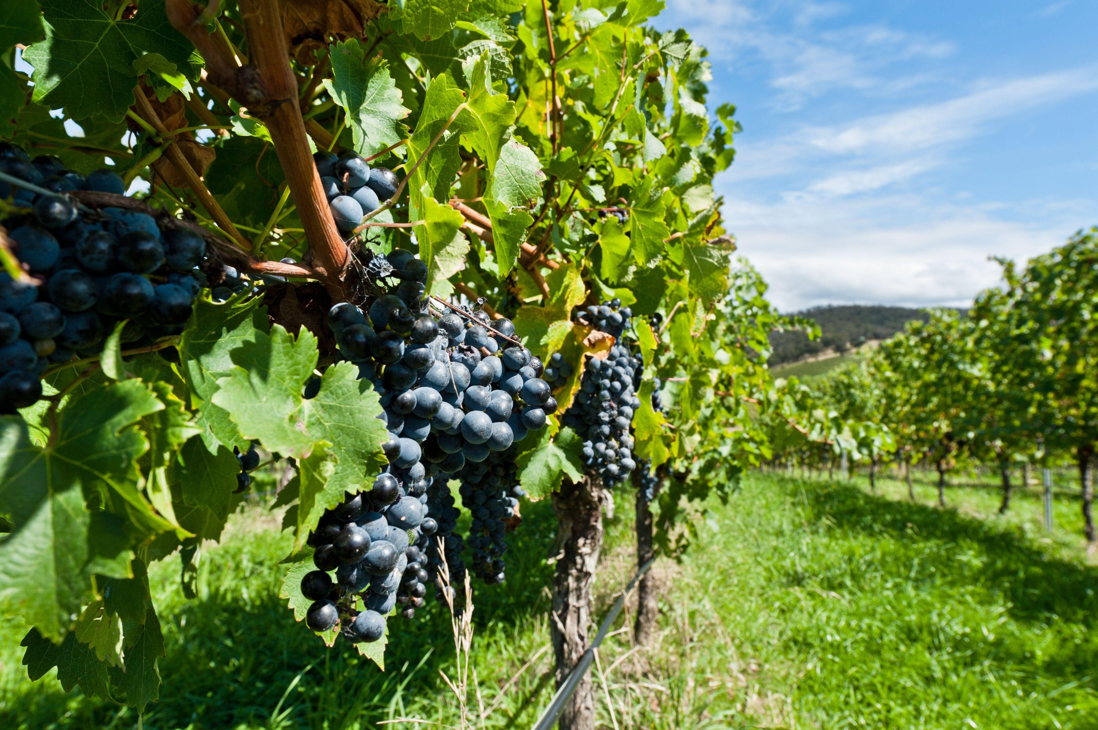 Wine Grape Cheat Sheets: Merlot | The Bubbly Professor