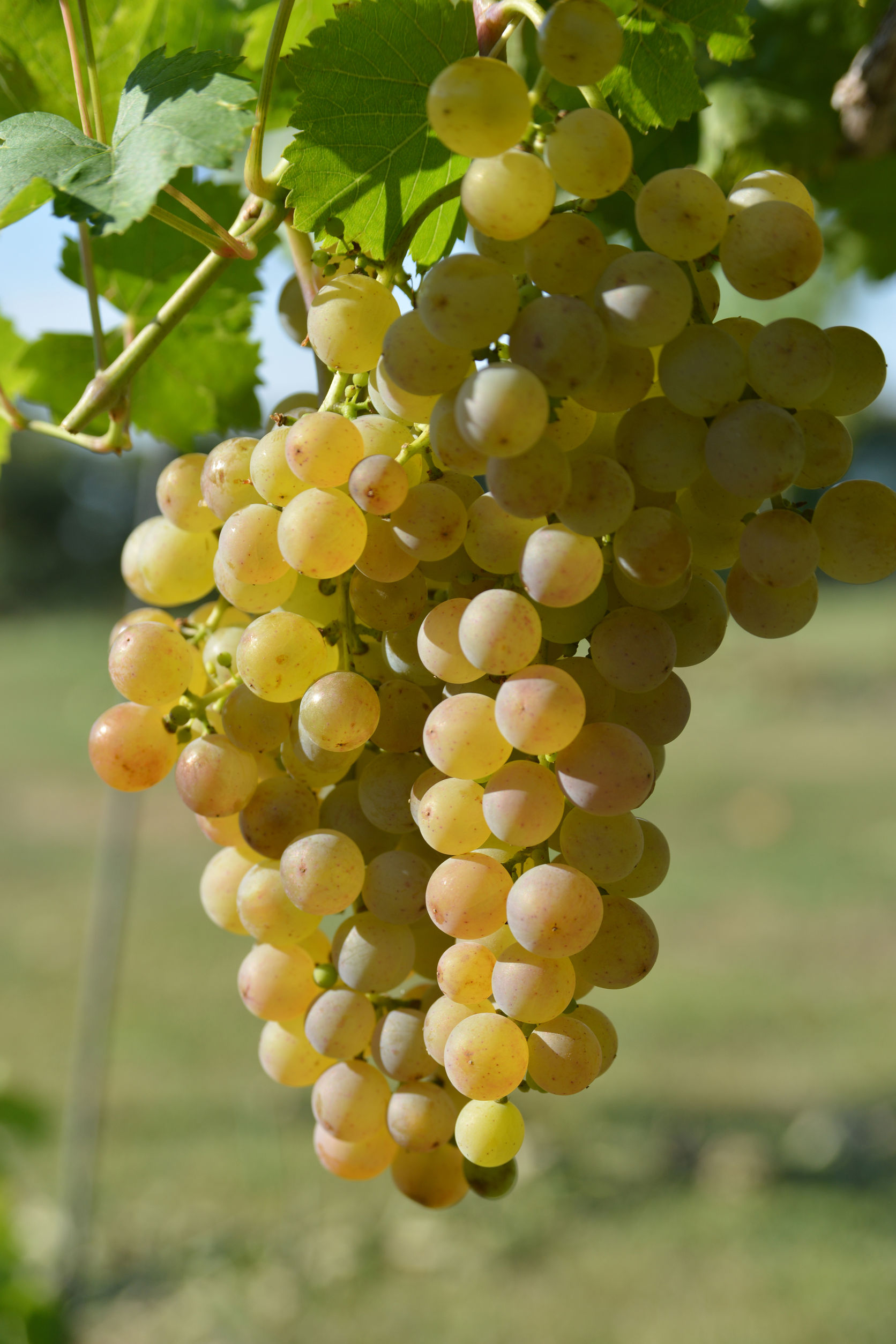 Moldova (grapes): description of the variety, characteristics, planting and care 73