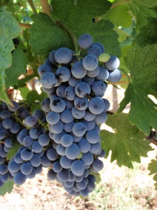 Photo of Marselan Grapes by Vbecart Photography, via Wikimedia Commons