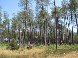 Maritime Pines in the Landes Forest