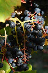 Photo of Tannat grapes by Pancrat, via Wikimedia Commons