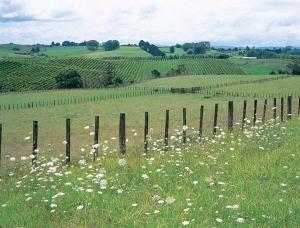 Vineyards in the Waikato/Bay of Plenty area (photo via http://www.nzwine.com/)