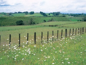 Vineyards in the Waikato/Bay of Plenty area (photo via http://www.nzwine.com/)