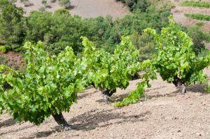 Garnacha Pelut vineyards in Priorat